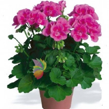 immagine Geranium plant, a touch of color in your home!