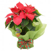 immagine Red poinsettia plant